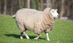 Southern Subtropics Sheep Forage Blend
