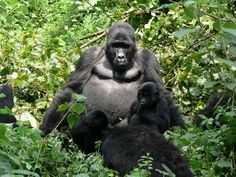 #Silverback @ #Bwindi Impenetrable National Park in #Uganda. Check our user reviews of Bwindi. Photo by Gerhard Mauracher