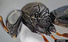 Trissolcus flavipes