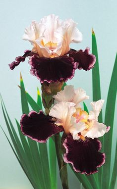 """1987/88, Blyth 'Crimson Snow'(Barry Blyth, R. 1987). Sdlg. S210-1. TB, 30-32"""" (76-81 cm), E-M. S. orchid pink (nearly white); F. plush ruby rose, 1/4"""" pink white band; white beard tipped tangerine. 'Ambiance' X ('Tomorrow's Child' x ('Love Chant' x 'Festive Skirt')). Tempo Two 1987/88."""