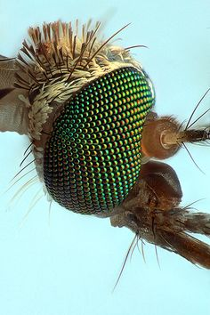 Mosquito head @16x | Flickr - Photo Sharing!