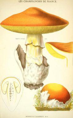 François Simon Cordier, Les champignons de la France 1870
