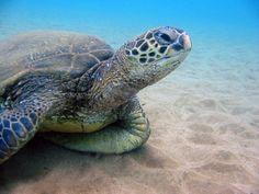 Hawaiian+Green+Sea+Turtles | Found on weheartit.com