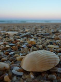 Outer Banks shells, we will add to our collection.  #elanvacations # dreamouterbanksvacation
