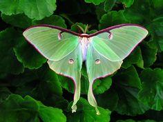 Luna Moth | 8000 views thanks everyone. Luna Moth is the lar… | Flickr