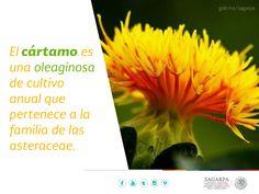El cártamo es una oleaginosa de cultivo anual que pertenece a la familia de las asteraceae. SAGARPA SAGARPAMX
