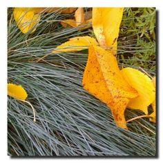 un giardino in diretta: L'oro e la festuca glauca #giardinoindiretta
