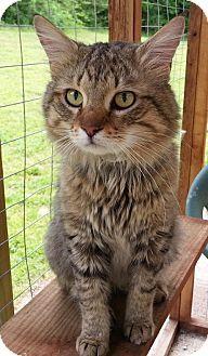 Prattville, AL - Domestic Mediumhair. Meet Irving 22198, a cat for adoption. http://www.adoptapet.com/pet/12751206-prattville-alabama-cat