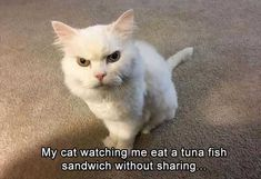 Funny Cat Compilation, Funny Animal Memes, Funny Cat Videos, Funny Animal Pictures, Cute Funny Animals, Funny Cute, Cute Cats, Funny Memes, Memes Humor