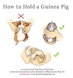 How to hold a guinea pig. Cutest illustrations and expressions ever! Makes me want to hug them all.