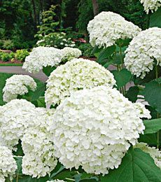 Pure fields of white bliss! Annabelle Hydrangeas