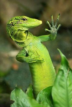 Emahgerd!! Prediteeers!! ridiculously photogenic lizard