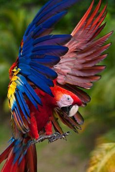 Person who pinned this originally needs to look up Scarlet Macaw, this looks just like my Scarlet Macaw. Never heard of a Blue Wing Macaw. Kinds Of Birds, All Birds, Love Birds, Bird Types, Tropical Birds, Exotic Birds, Colorful Birds, Pretty Birds, Beautiful Birds