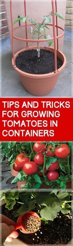 Tips and Tricks for Growing Tomatoes in Containers Garden Ideas Growing Tomatoes In Pots Growing Tomatoes from Seed Vegetable Gardening Gardening for Beginners Vegetable. Growing Tomatoes From Seed, Growing Tomatoes In Containers, Grow Tomatoes, Garden Tomatoes, Porch Tomatoes, Hydroponic Gardening, Hydroponics, Organic Gardening, Urban Gardening