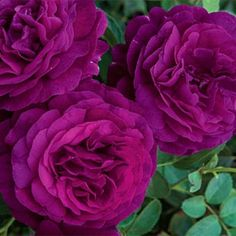 Twilight Zone Grandiflora Rose ~  Big, Highly Fragrant Blooms in Much-Sought Purple Tones!