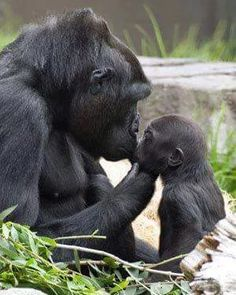 Momma Gorilla kissing baby gorilla while holding it's sweet little cute face in…