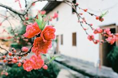 plum or apricot? blossoms