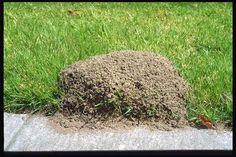 Simplemente vierta 2 tazas de agua mineral con gas directamente en el centro de un montículo de hormigas de fuego. El dióxido de carbono en el agua es más pesado que el aire y desplaza el oxígeno que sofoca la reina y las otras hormigas. Toda la colonia estará muerto dentro de unos dos días. Cada montículo debe ser tratado de forma individual y una botella de un litro de agua mineral con gas matará 2 a 3 montículos. Voy a tener que probar esto