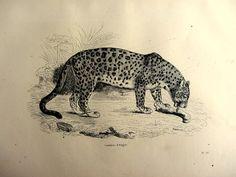 1860 nice antique leopard print vintage feline by LyraNebulaPrints, $24.95