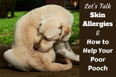 How to help Dog skin allergies written beside a yellow labrador itching