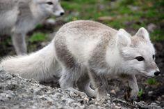 Arctic fox stock 15 by GrayeyesStock.deviantart.com on @deviantART