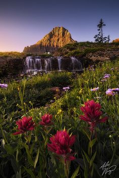 Sunrise light over the streams and wildflowers,Glacier National Park, Montana, United States