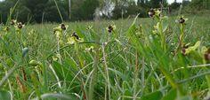 Prato di Ophrys bombyliflora M.Conero - Marche