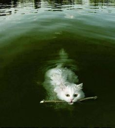 I don't have the heart to tell him that he is not a dog!  This is an Armenian Van cat. They live near Lake Van in modern turkey and are the only breed of cats that swim and retrieve.