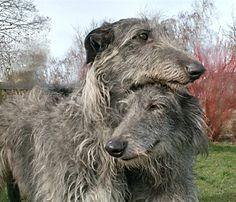 - Deerhounds