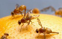 <strong>Obstfliegen loswerden und Fruchtfliegen beseitigen</strong>
