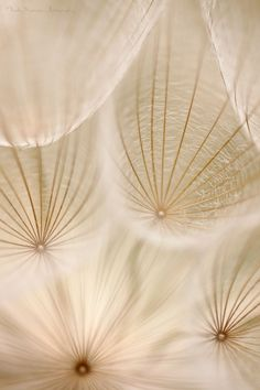 Voladoras by Nicky Marrero - delicate skeletal structure for thin, translucent… Patterns In Nature, Textures Patterns, Color Patterns, Vincenzo De Cotiis, Foto Macro, Wallpaper Aesthetic, Dandelion Wish, Dandelion Seeds, Shades Of Beige