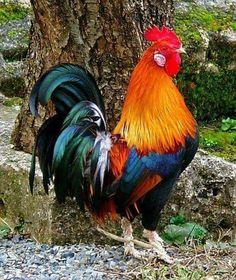 le coq de la France - - If I had chickens! Pretty Birds, Beautiful Birds, Animals Beautiful, Farm Animals, Animals And Pets, Cute Animals, Wild Animals, Beautiful Chickens, Chickens And Roosters