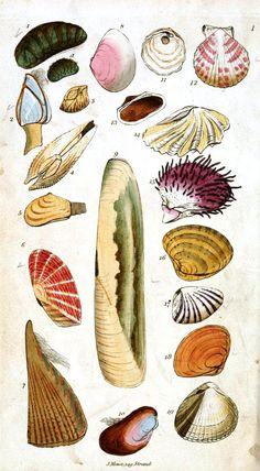 @Kathryn Whiteside Harris Lots of good illustrations here: http://vintageprintable.com/wordpress/vintage-printable-animal/animal-sea-shells-and-related/animal-sea-shell-3/