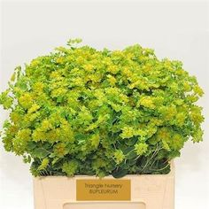 Bupleurum Griffithii, commonly known as Hares Ear or Thorow-Wax is a bright Green cut flower and foliage. Insignificant yellow green flowers used more as a foliage and as a filler. Green Flowers, Cut Flowers, Wholesale Flowers Online, Flowers For Everyone, Country Wedding Flowers, Florist Supplies, Flowers Delivered, Flower Food, Hare's Ear
