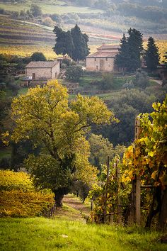 Vineyards and olive groves - Chianti, Tuscany, Italy