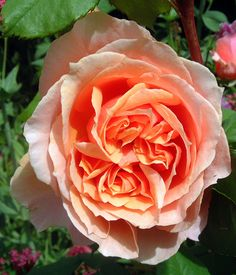 'Paul Bocuse' | Shrub rose. Bred by Dominique Massad (France, 1992) | Flickr - © Cécile