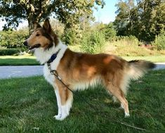 Old Time Scotch Collie - Collin