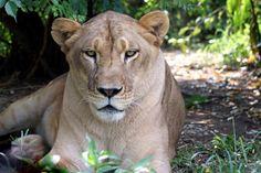 Reina Lion | Carolina Tiger Rescue Big Cats, Lions, Cute Animals, Pretty Animals, Lion, Cutest Animals, Cute Funny Animals, Adorable Animals