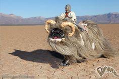 Bantha pug costume - brilliant.
