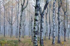 Vlies Fototapete Wald - Birken Nr. 39413
