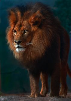 Lion by Jeffrey Lee IUCN Red List<Vulnerable>    絶滅危惧II類