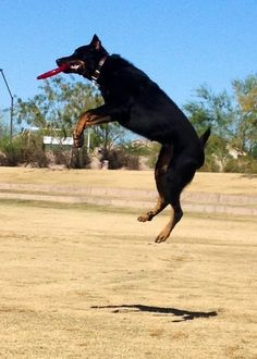 Beauceron, Information and Pictures, Beaucerons - Taz