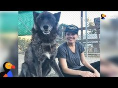 DannyShookNews: 🐶 Rescue Wolfdog Finds A New Pack to Howl With - . Cute Husky Puppies, Husky Puppy, Puppy Love, Cute Dogs, Dogs And Puppies, Wolf Dog Puppy, Wolf Pup, Dog Cat, Baby Wolves