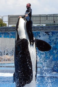 Killer Whale and Trainer- My dream! I want to do it looks fun!
