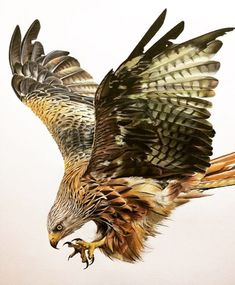 Wild and Domestic Animal Drawings. Click the image, for more art by Tom Strutton. Realistic Animal Drawings, Pencil Drawings Of Animals, Bird Drawings, Eagle Images, Eagle Pictures, Watercolor Bird, Watercolor Animals, Most Beautiful Animals, Beautiful Birds