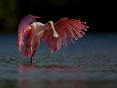 Roseate Spoonbill.  Magnificent.