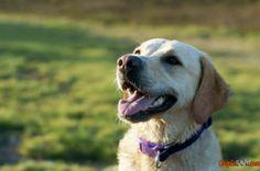 Cão da raça labrador inquieto foto