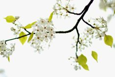 White flowering tree. Signs of Spring. Photo by Mademoiselle Mermaid.