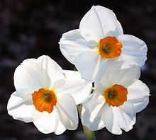 Decembers birth flower Narcissus (plant) - Wikipedia, the free encyclopedia