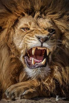 Lion by © Harry Schindler